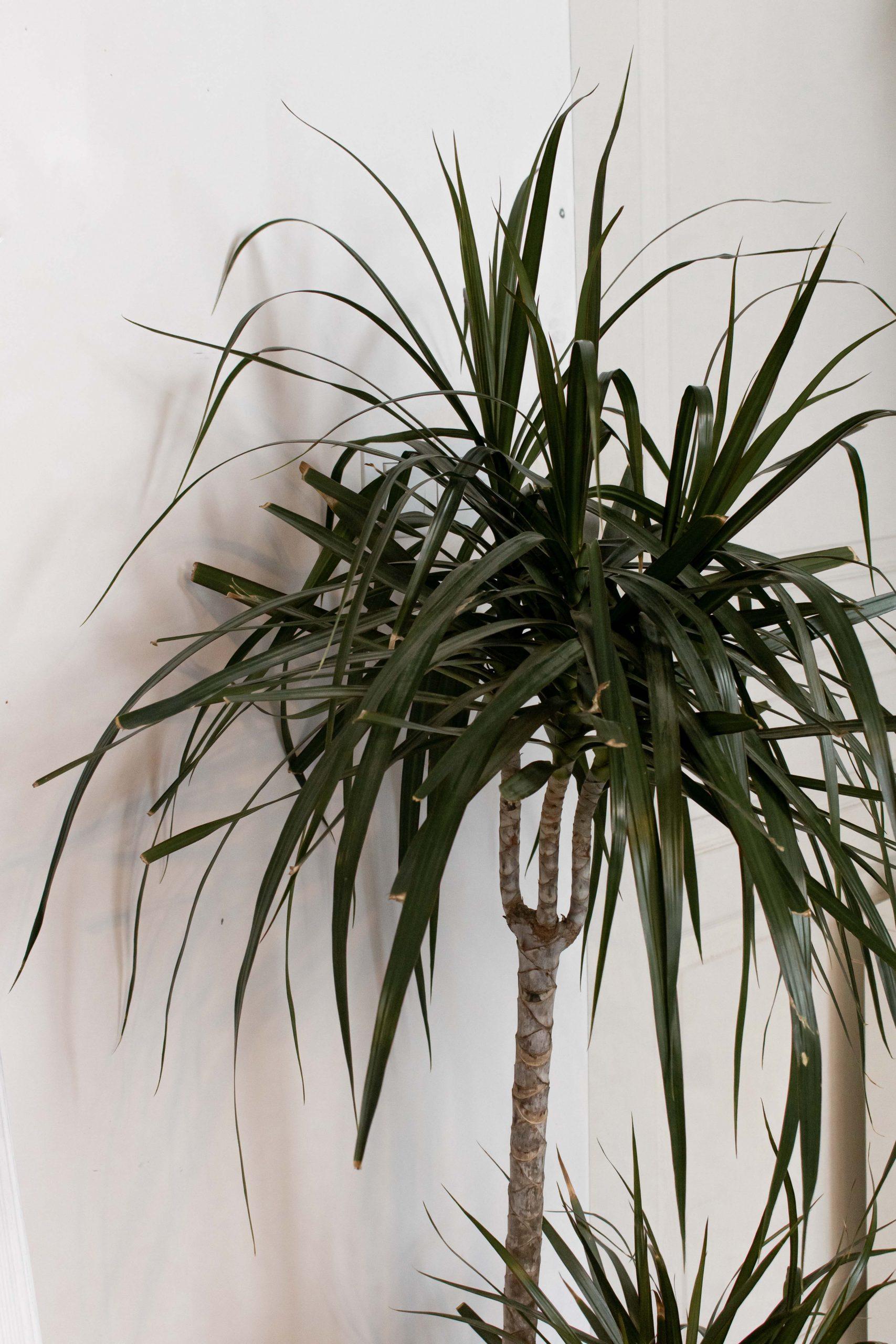 décoration intérieure plante palmier